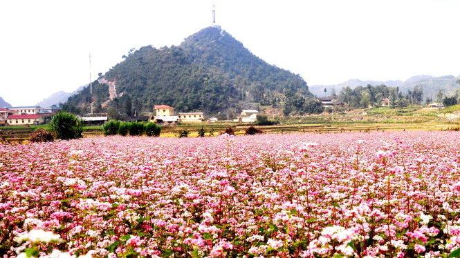 Cánh đồng hoa Tam Giác Mạch ở Lũng Cú.